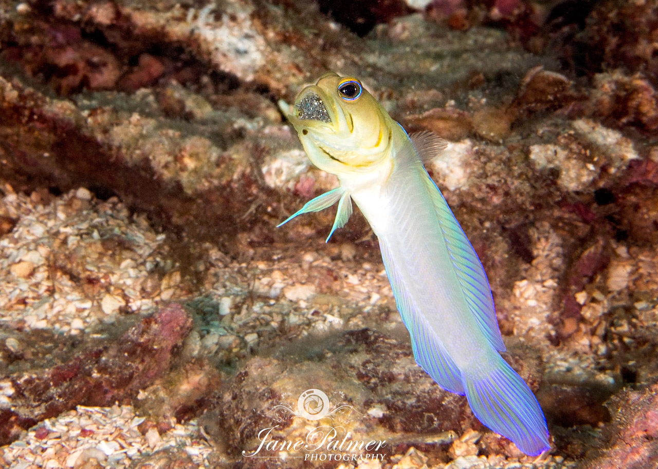 Male Jawfish incubating Eggs - Underwater Photography by Jane Palmer