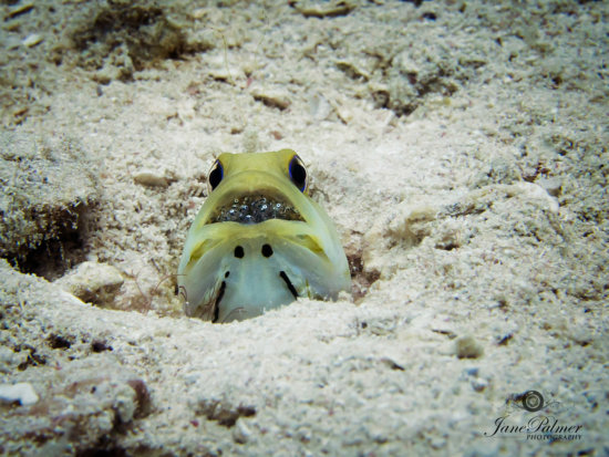 Underwater photo of a male jawfish.