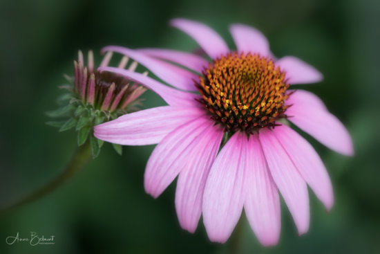 Flower photography with Lens Baby's Velvet 85mm by Anne Belmont