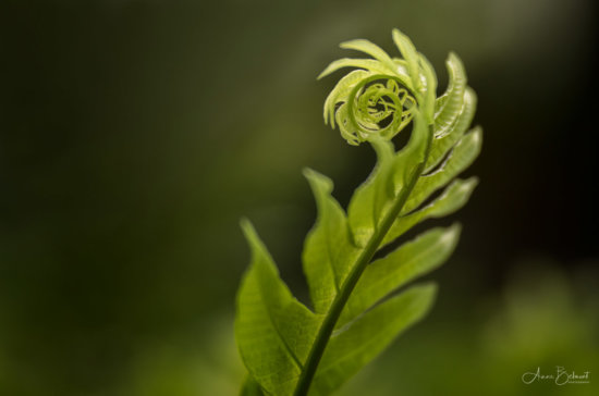 Macro Photography of a fern captured with 100mm Macro Lens by Anne Belmont