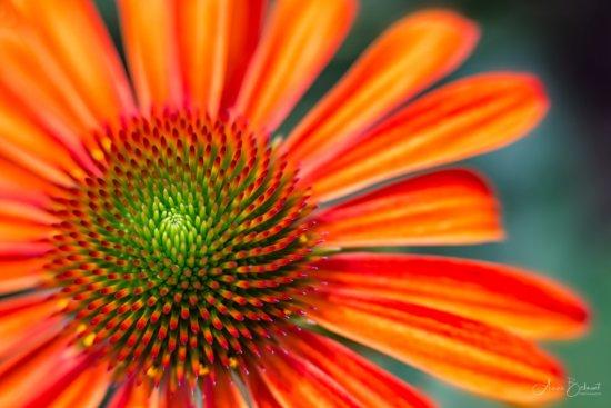 Macro Photography using Lensbaby's Velvet 56mm, f/4