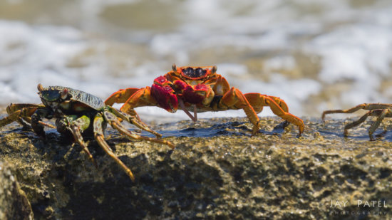 Closeup of crabs on Sunset Beach, Mana Island, Fiji by Jay Patel