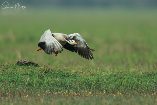 Bird photography of low flying bar-headed goose by Gaurav Mittal