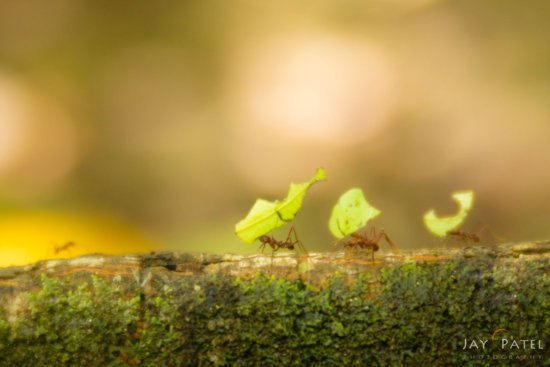 Creative photography with Lensbaby of Leaf cutter ants in Costa Rica by Jay Patel