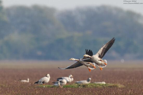 Photographing birds in flight by by Gaurav Mittal