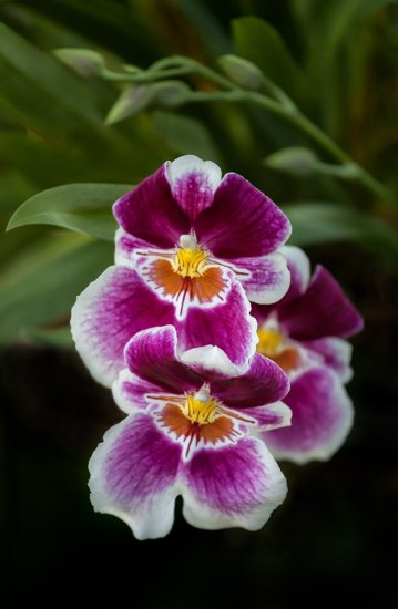 Miltoniopsis Orchid Flower Photography with 70-200mm, f/4 Telephoto lens.