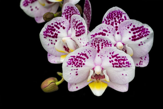 Phalaenopsis Orchids Photo with 100mm Macro Photography Lens and a Ring Light