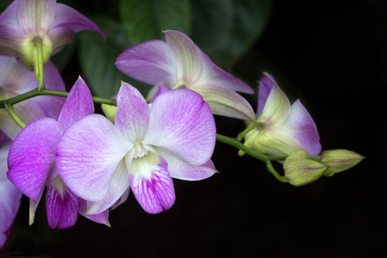 Flower Photography with Dendrobium Orchids using a 100mm Macro