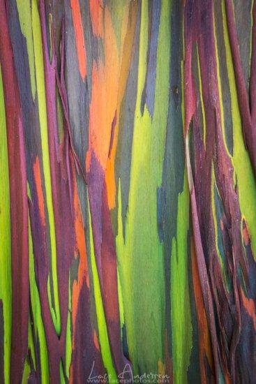 Intimate Close-up of Trees, Rainbow Eucalyptus, Hawaii