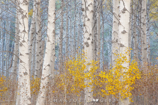 Aspens-and-the-Blue-LIght