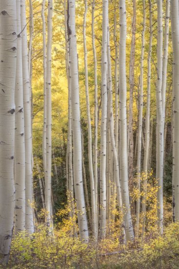 Landscape photography of aspen trees after post processing by Charlotte Gibb