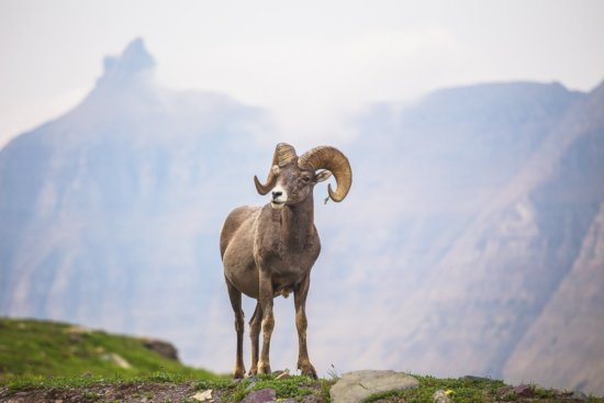 Nature Photography or rocky mountain bighorn sheep ram by Peter Coskun