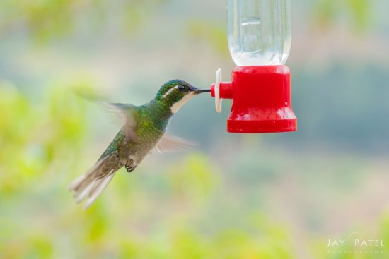 Hummingbird in Flight before creative post processing