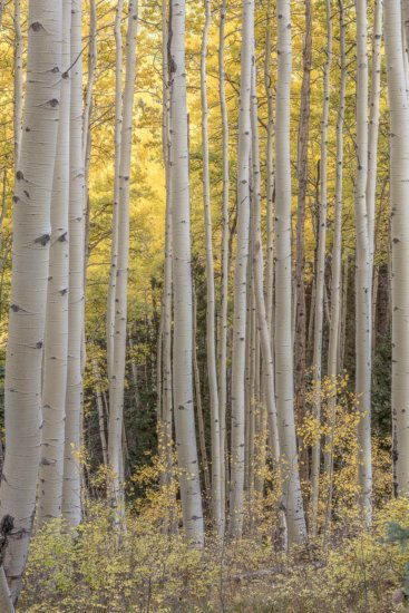 Landscape Photography of aspen trees by Charlotte Gibb