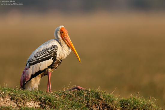 Bird Photography using 1.4x Teleconverter by Gaurav Mittal