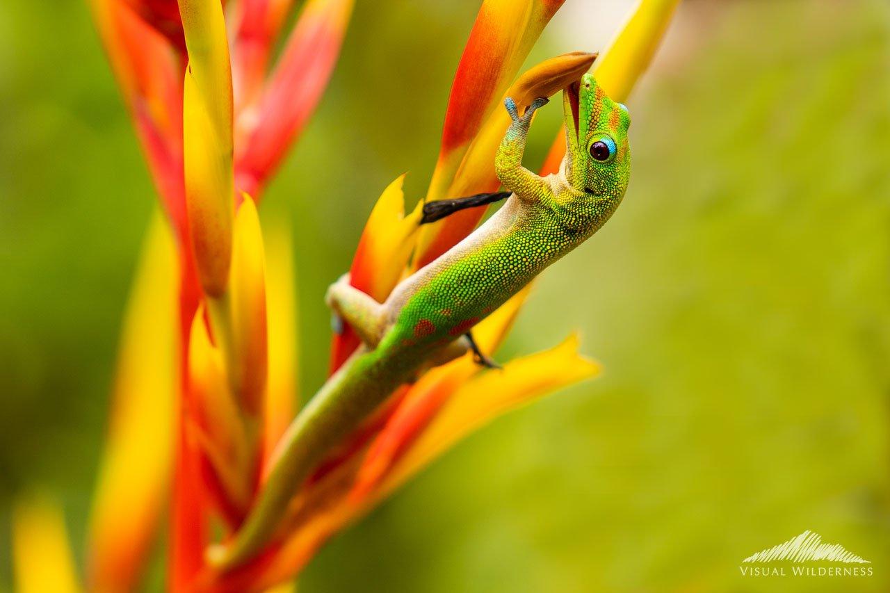 Hawain Gecko Macro Photography by Jay Patel