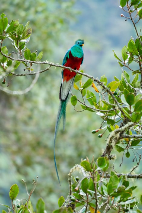 Photographing Quetzal using a Telephoto Lens