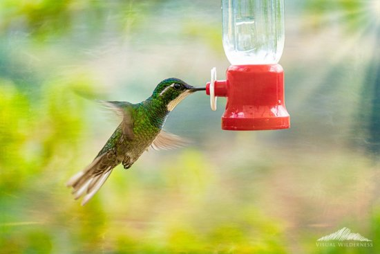Hummingbird in Flight after creative post processing