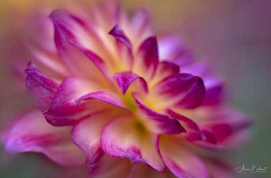 Macro photo of Dahlia with textured background by Anne Belmont