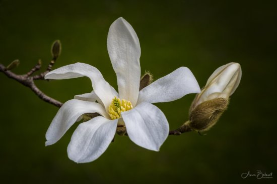 Clean background for flower photography by Anne Belmont