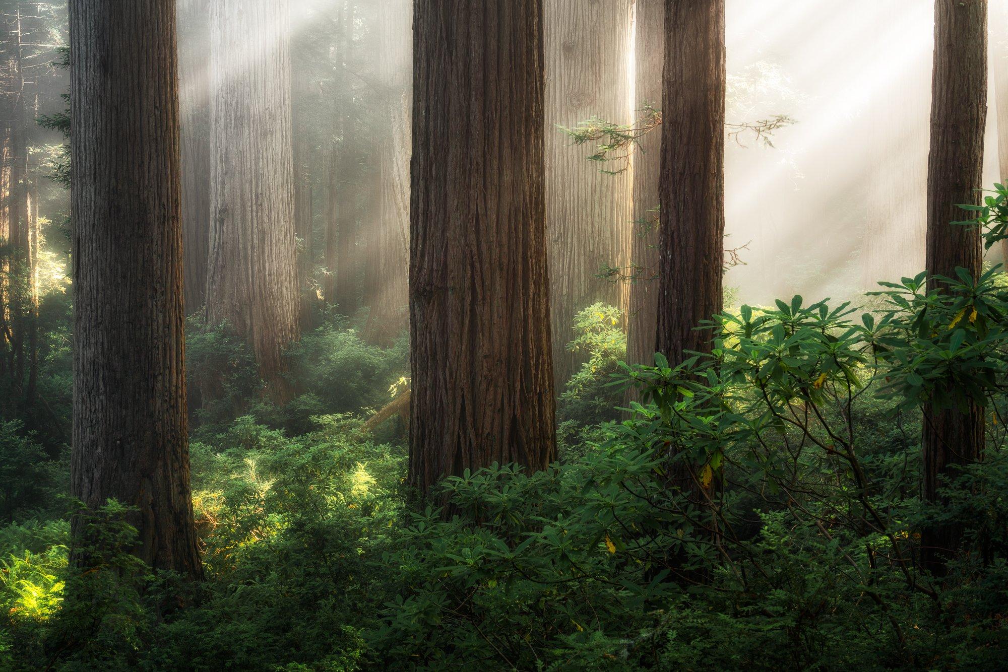 Redwood Giants by Austin James Jackson