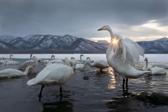Wildlife photography at sunset in Lake Kussharo, Hokkaido, Japan by Karin De Winter and Jo Van Rossem