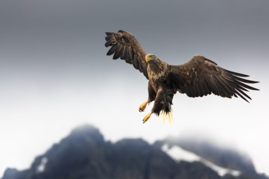 White-tailed eagle in action by wildlife photographers Karin De Winter and Jo Van Rossem