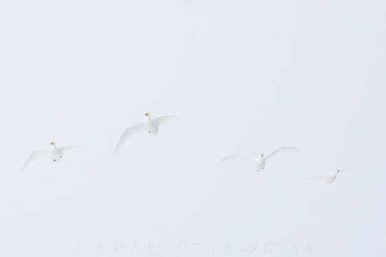Wildlife photography of swans in a snow storm by Charlotte Gibb