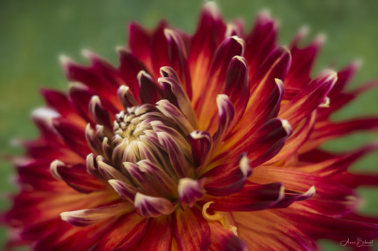 Flower photography with complementary colors