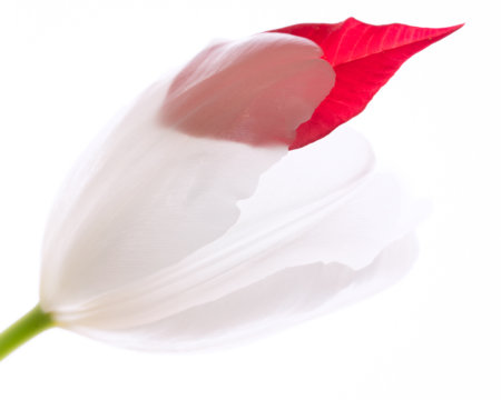 Macro flower photography with a poinsettia petal for a splash of color by Padma Inguva