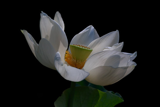 Backlight photography with a Lotus by Padma Inguva