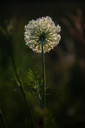 Backlight photography example - Queen Anne's Lace by Padma Inguva