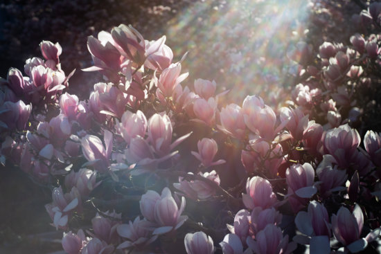 Camera lens flare on Magnolias by Padma Ingua