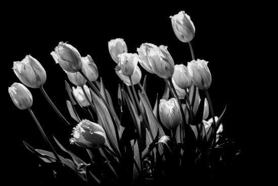 Backlight Flower Photography converted to Black and White for a Fine Art Print by Padma Inguva
