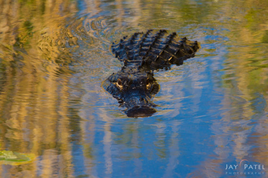 Wildlife photography from Everglades National Park by Jay Patel