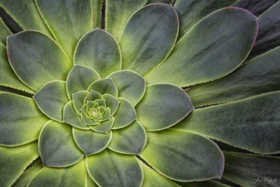 Macro photography composition of Succulent Desert Plant by Anne Belmont