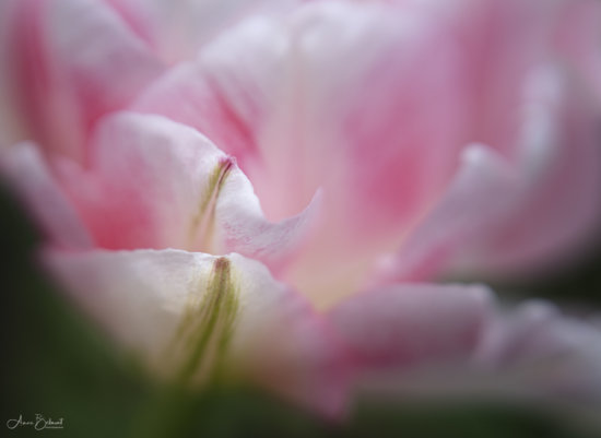 Flower Photography with Lensbaby by Anne Belmont