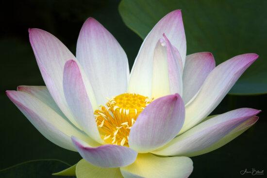 Lotus flower photographed under full overcast light by Anne Belmnot