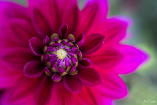 Photographing dahlias with a diffuser under harsh sun light by Anne Belmont