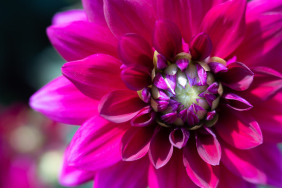 Photographing dahlias under harsh sun light by Anne Belmont