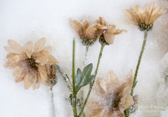 Frozen flowers with Telephoto or Macro Photography Lens by Peter Dulis