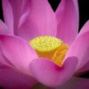 Lotus Flower Photography by Anne Belmont