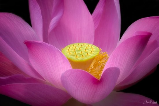Lotus flower photography with 3 Dimensional effect created by side lighting by Anne Belmont