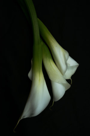 Calla Liles flower photography on a black background by Padma Inguva