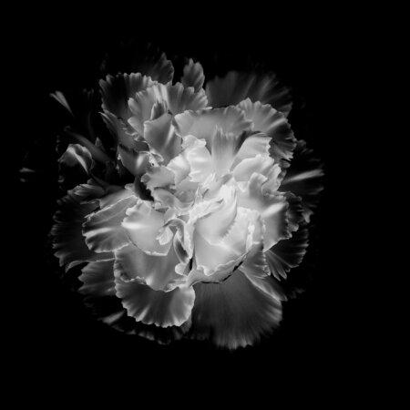 Inverted Black & White Flower Photo in Photoshop by Padma Inguva