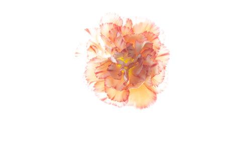 Back lit flower photography using photo light box by Padma Inguva