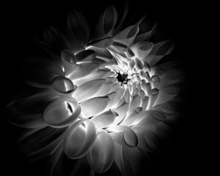 Black and White flower photography created using solarization Post processing technique with Photoshop and NIK Plugins.