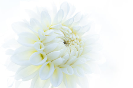 Back lit flower photography using a diffuser by Padma Inguva