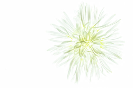 Chrysanthemum photographed using Photo Light Box by Padma Inguva