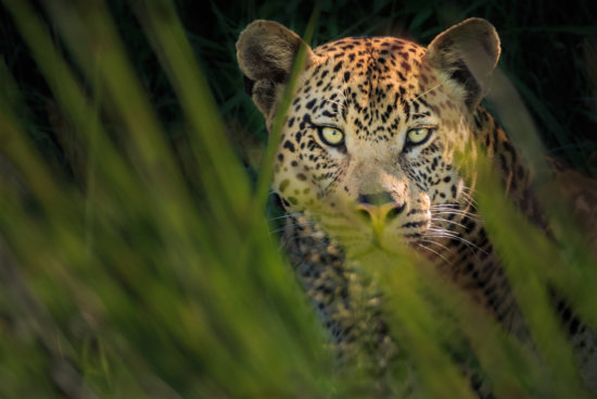 Shallow DOF created with a Telephoto Lens for Wildlife Photography of a Leopard hiding in high grasses in the wetlands of the Okavango delta, Botswana.